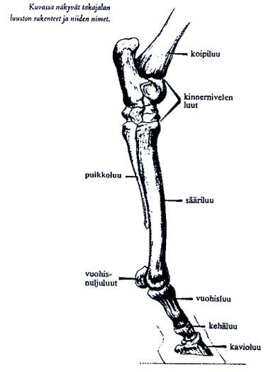 Hevosen takajalan anatomia